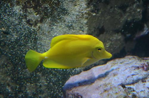 Gelber Fisch im Züricher Zoo