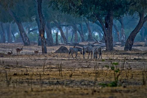 africa dawn safari zebra zimbabwe manapools