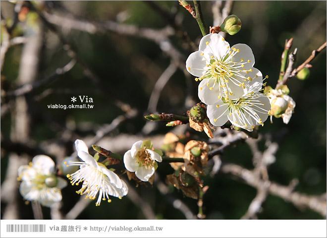 【南投梅花秘境】仁愛鄉「西伯梅園」~和互助國小梅園來個賞梅一日遊21