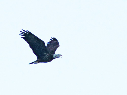 Bald Eagle immature 20150104