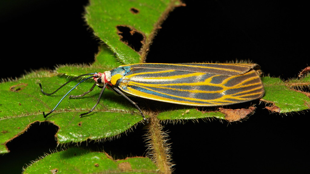 Zygaenid Day-flying Moth (Soritia sp., Chalcosiinae, Zygaenidae), female