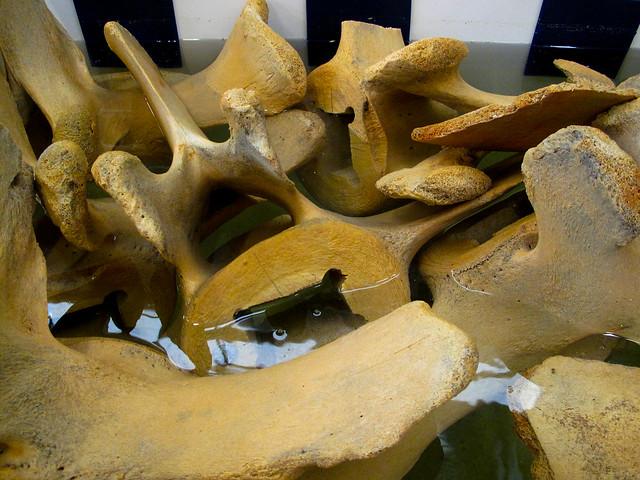 Bleaching Whale Bone