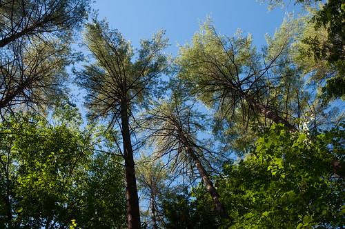 camping trees sky pine vermont lookingup canopy jamaicastatepark