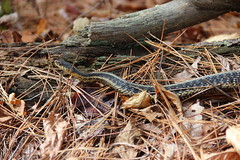 IMG_1097-Common Garter Snake (Thamnophis sirtalis)