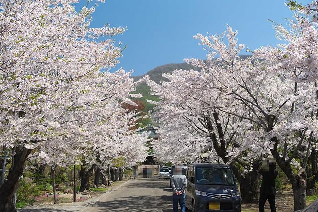 20160508宏楽園の桜_02