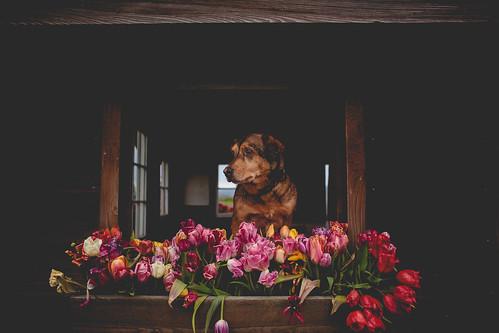 Tulips-7343