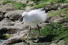 Garça Branca Pequena (Small White Heron Bird)