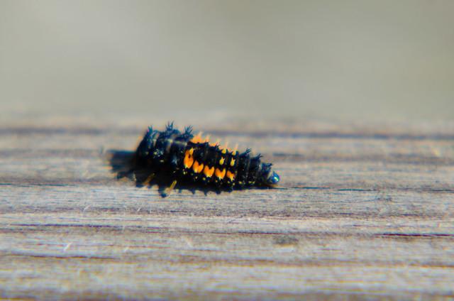 Ladybird larva on a fence
