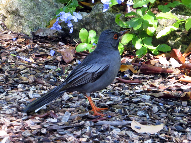 Red-legged Thrush (Turdus plumbeus)