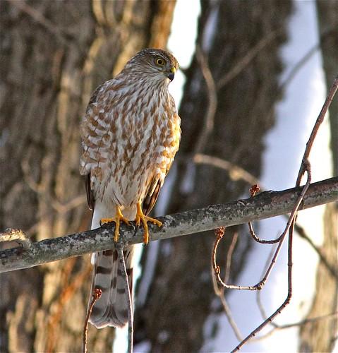 Sharp-shinned Hawk (adult) near Argyle Lake