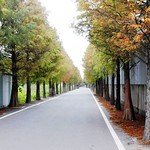2014 12 14 桃園.大溪.石園路560號.落羽松