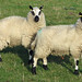 Small photo of Kerry Hill Sheep at Elsham