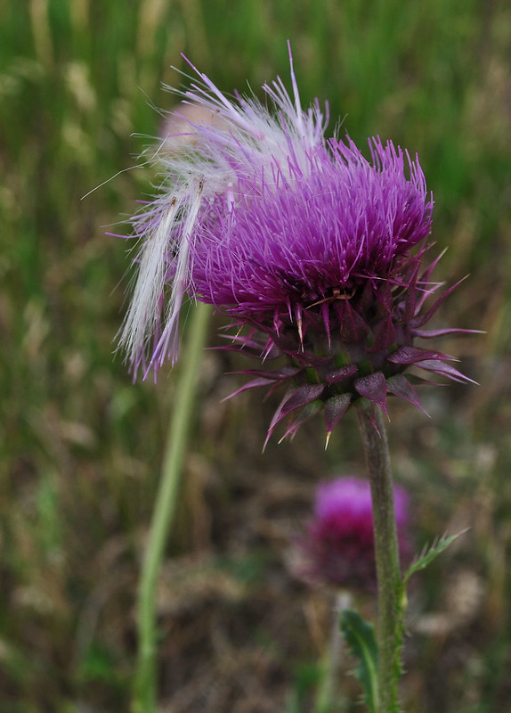Roxborough Park - Carduus nutans