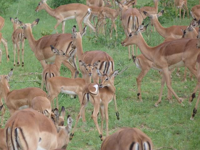 Manada de impalas en la reserva de Sabi Sand (Parque Kruger de Sudáfrica)