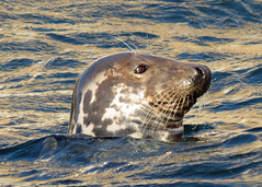 Grey Seal - Halichoerus grypus