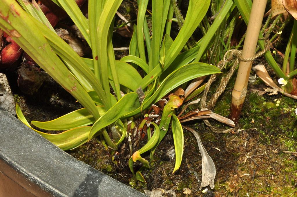 Sarracenia oreophila phyllodes