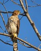 Cooper's Hawk Scoping a Dove