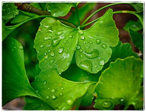 Raindrops on Gingko leaves