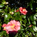 Camellias at Middleton Place