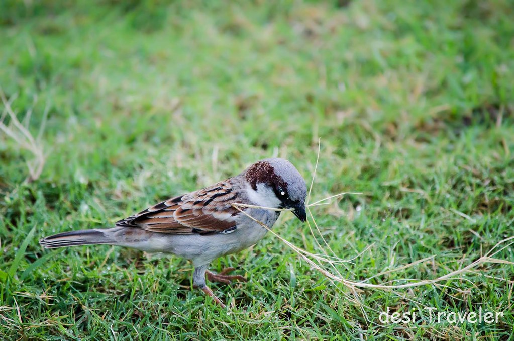 Male house sparrow collecting grass for nesting