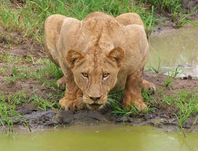 Leona en el Parque Nacional Kruger (Sudáfrica)