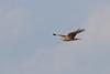Eastern marsh harrier -Birds of Japan-