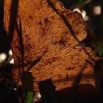 透けるイチョウの葉