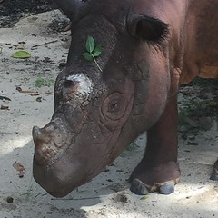 Dad-to-be Andalas posing for the camera this morning at the Sumatran Rhino Sanctuary in Indonesia. #teamrhino #babywstch