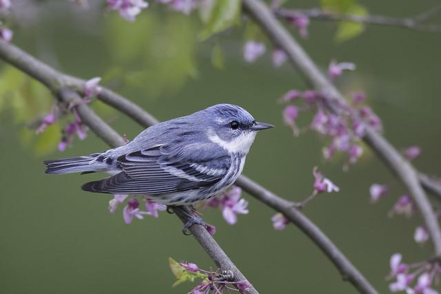 Cerulean Warbler - Shawnee Ohio