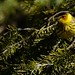 Cape May warbler by Jamuudsen