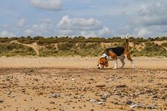 Beachcomber beagle