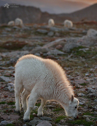 allrightsreserved alpine colorado coloradocaptures copyright2015bymikeberenson fourteener landscape mikeberenson mountevans mountain mountains nature rockymountains evergreen unitedstates us goat mountaingoat kid