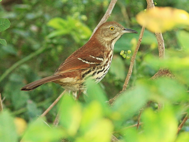 Brown Thrasher 20141031