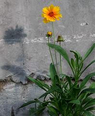 coreopsis, oneplant, USDABeltsville, jdy170 XX200106193437.jpg