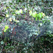 Small photo of Anelosimus eximius