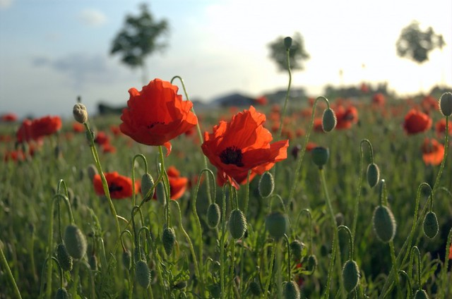 Image of Poppies in Flanders Fields