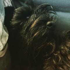 Turbo #miniature #miniatureschnauzer #schnauzer #schnauzerlounge #schnauzer_of_instagram #dog #dogs #dogs_of_instagram #ilovedogs #ilovemydog #instadog #instapet #canine