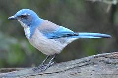 cinclidae(0.0), green jay(0.0), emberizidae(0.0), animal(1.0), wing(1.0), fauna(1.0), bluebird(1.0), jay(1.0), beak(1.0), bird(1.0), wildlife(1.0),