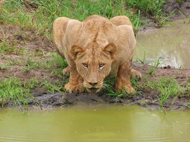 Leona bebiendo agua en el Parque Kruger de Sudáfrica