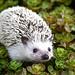 hedgehog by http://www.rkpphotography.zenfolio.com