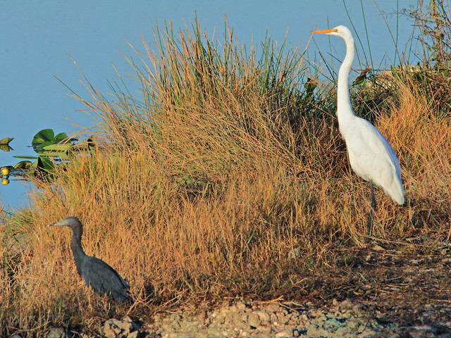 Little Blue Heron and Great Egret 20141028