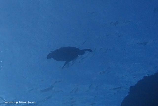 水面近くではカメちゃんが遊泳中♪
