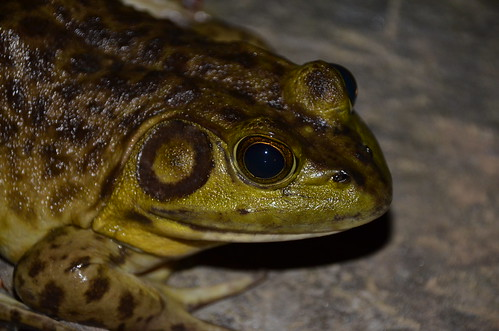 20. Portrait of Leopard Frog, Taken with New Lens in Backyard.
