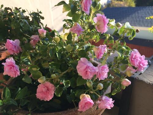 California Rose in full bloom