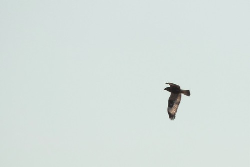 #112 Rough-legged Hawk ( Buteo lagopus)