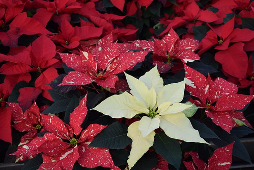 The beautiful poinsettia stands as a decoration on its own. NRCS photo by Analia Bertucci.