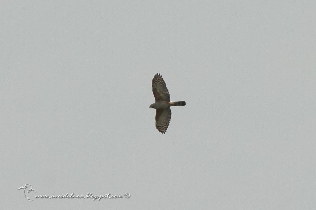 Milano de corbata (Rufous-thighed Kite) Harpagus diodon