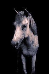 Silver Gray horse on Black background
