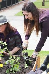 Cr Meghan Hopper, Moreland Mayor helping with planting IMG_9500