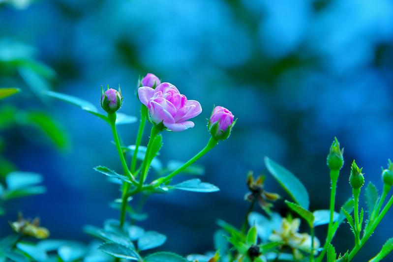 古坑蘿莎玫瑰莊園加減拍